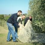 Tuscany olive picking