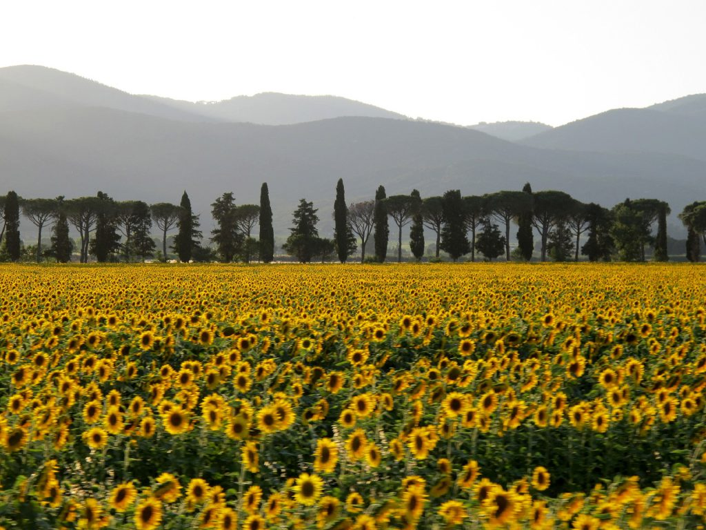 Sunflowers in Italy
